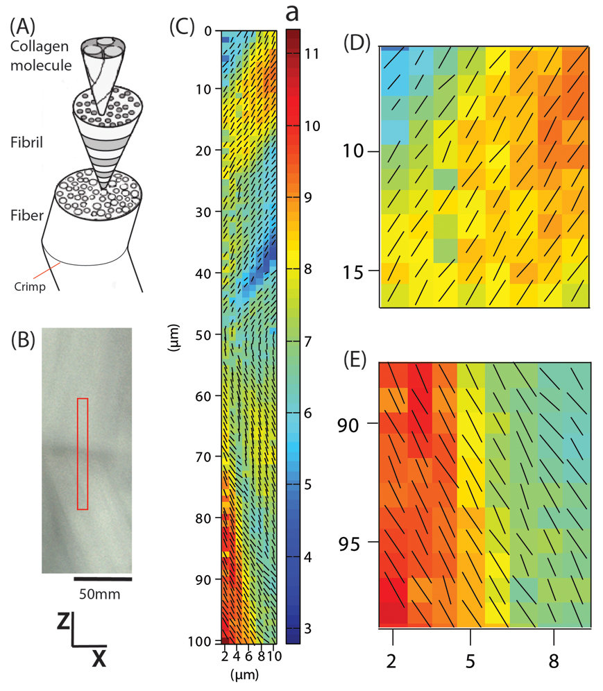 Polarized Raman mapping of collagen fibril orientation in the crimp region of an un-stretched, fully hydrated rat tail tendon. The hierarchical structure of collagen (A), an optical microscopy image of the crimp region (B) and its corresponding collagen orientation map (C) with magnified regions of interest (D and E).