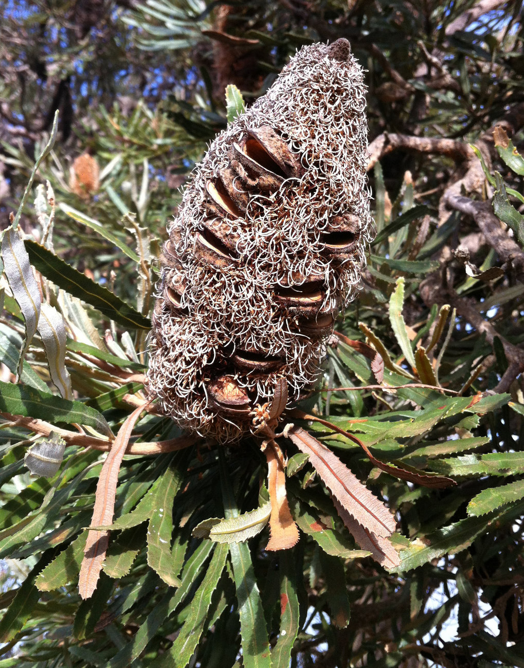 Self-healing seed podsIn plants of the Australian genus Banksia,  special waxes seal small fissures in the fruit wall