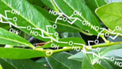 Synthetic Plant Carbohydrates